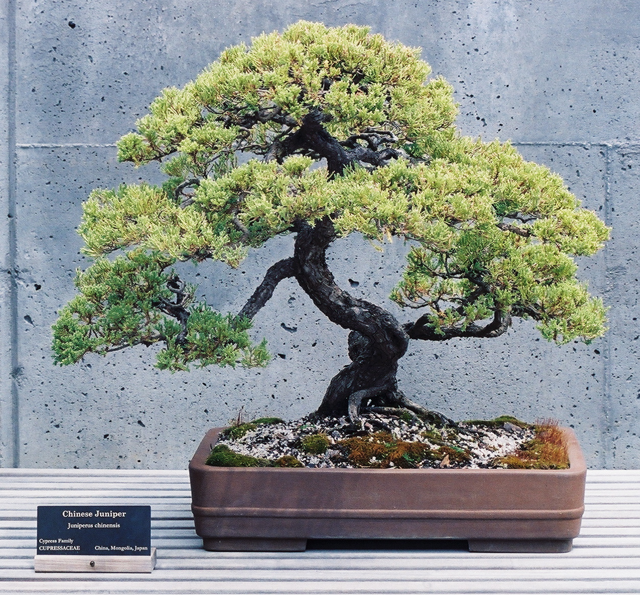 Bonsai Wallpaper